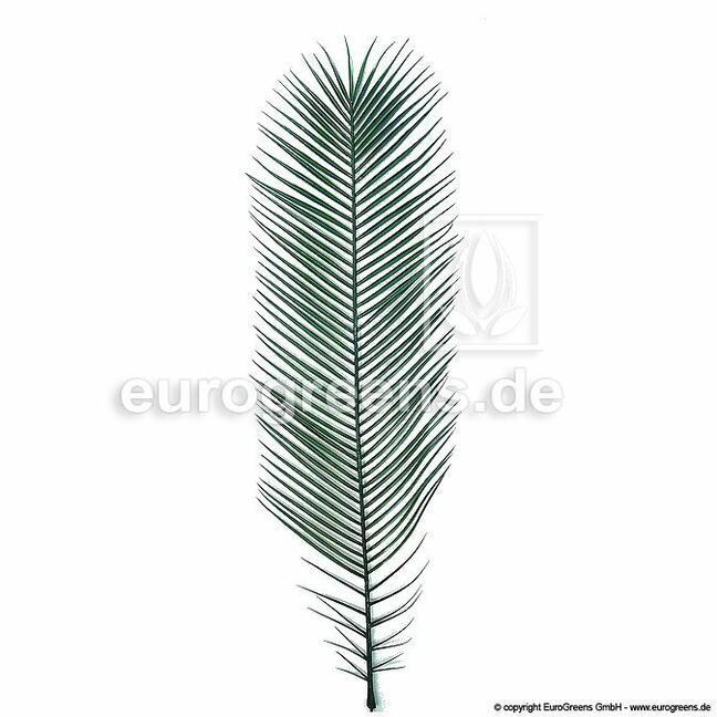 Konik polny kanaryjski sztuczny liść 130 cm