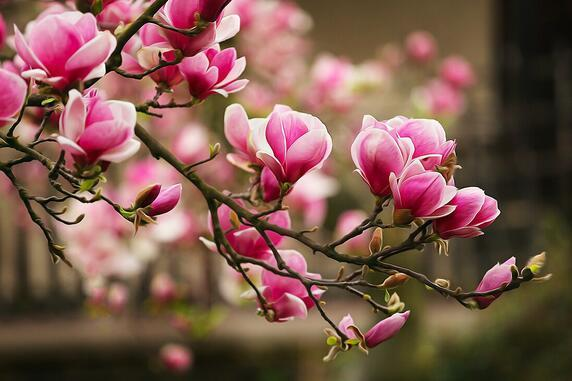 Magnolia i jej choroby