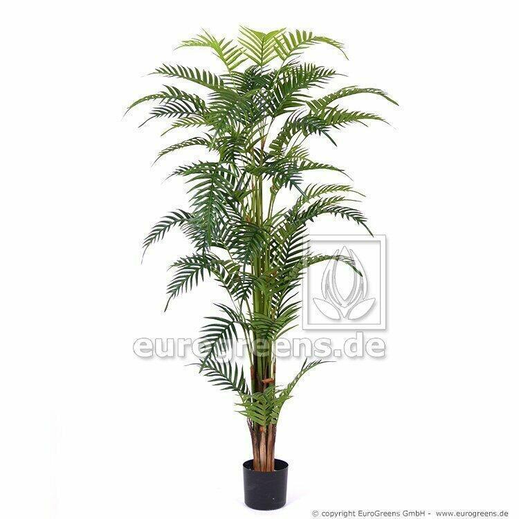 Palma Areca Royal vo veľkosti 180 centimetrov.