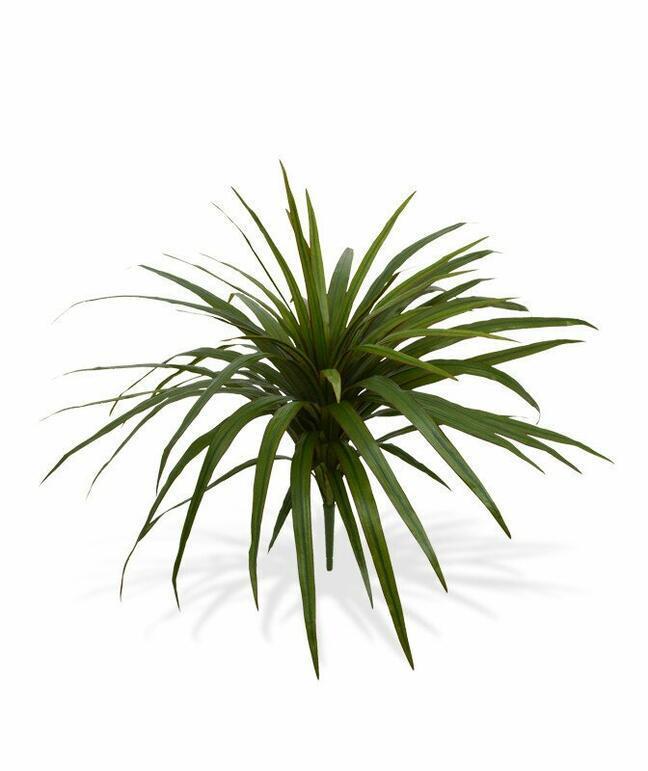Sztuczna roślina Dracena wyłożona 50 cm
