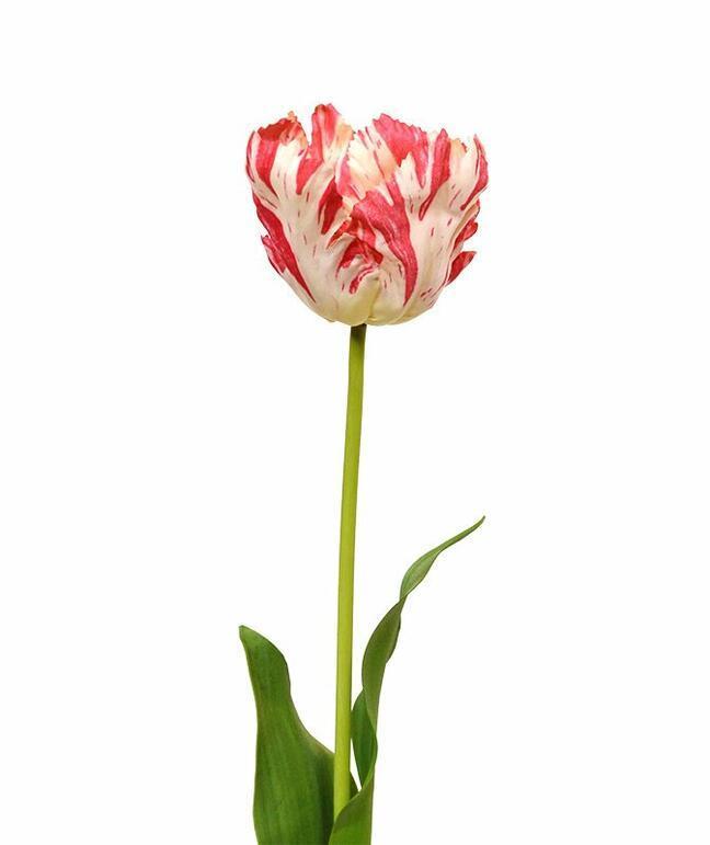 Sztuczny kwiat Tulipan czerwono-biały 70 cm